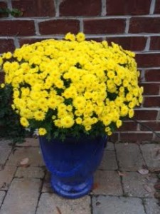 Yellow Mum Blue Pot